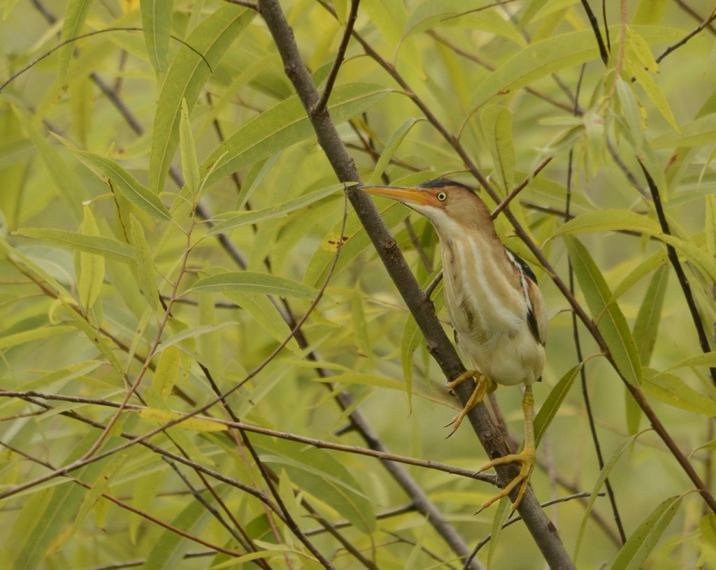 Least bittern in a willow, from Lake Apopka Restoration Area.