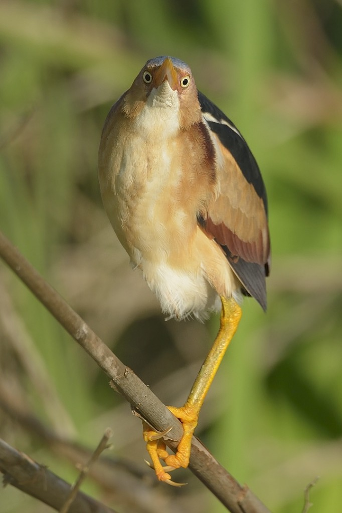 Eyeballing me under the chin, a charming behavior of the least bittern.