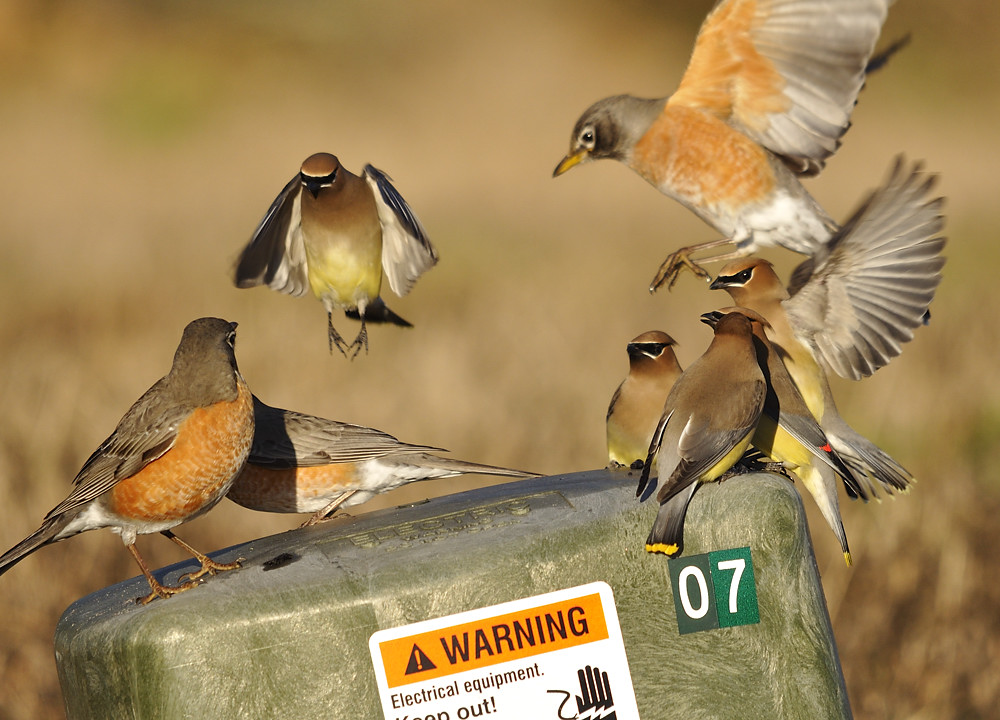 Waxwings and robins competing for space and a few droplets of water atop an electrical junction box.