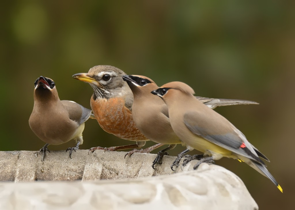 Though they have their occasional spats, peaceful coexistence between the robins and waxwings is possible.