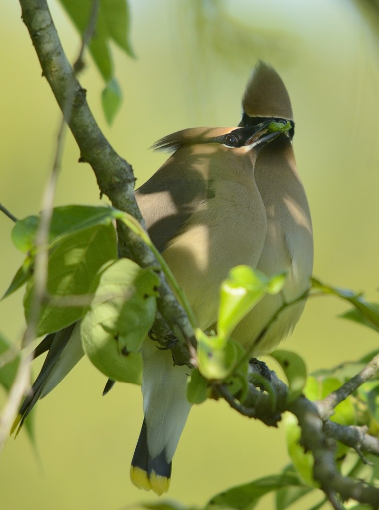 A cedar waxwing pair passing a piece of fruit back and forth, part of their courtship and pair-bonding ritual.