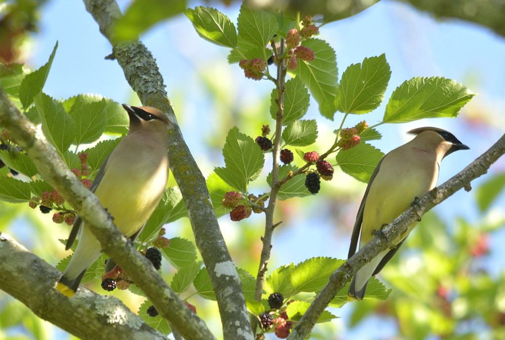 Waxwings in northern Virginia, on their breeding ground, feeding on mulberry, Morus rubra.