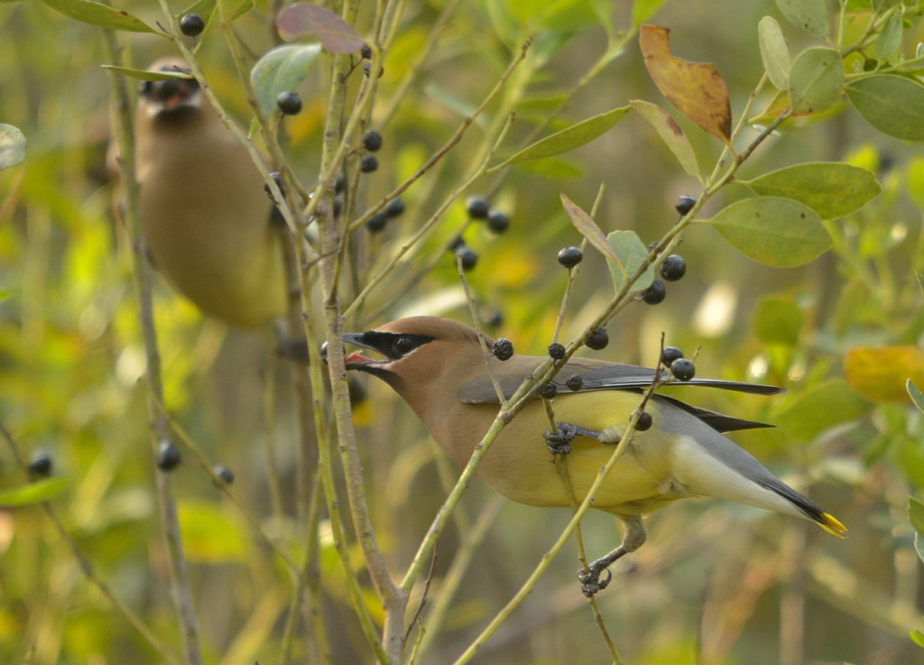 Cedar waxwings in the pine flatwoods of Heart Island, feeding on the fruits of Ilex glabra, or inkberry.