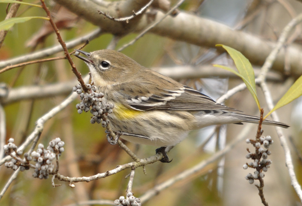 Yellow-rumped warblers are able to winter further north than most warblers, in part due to their ability to feed on the fruits of waxmyrtle and digest the waxy coating as well as the pulp.