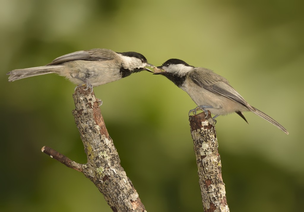 Feeding of offspring by parents constitutes both parental investment and parental care.