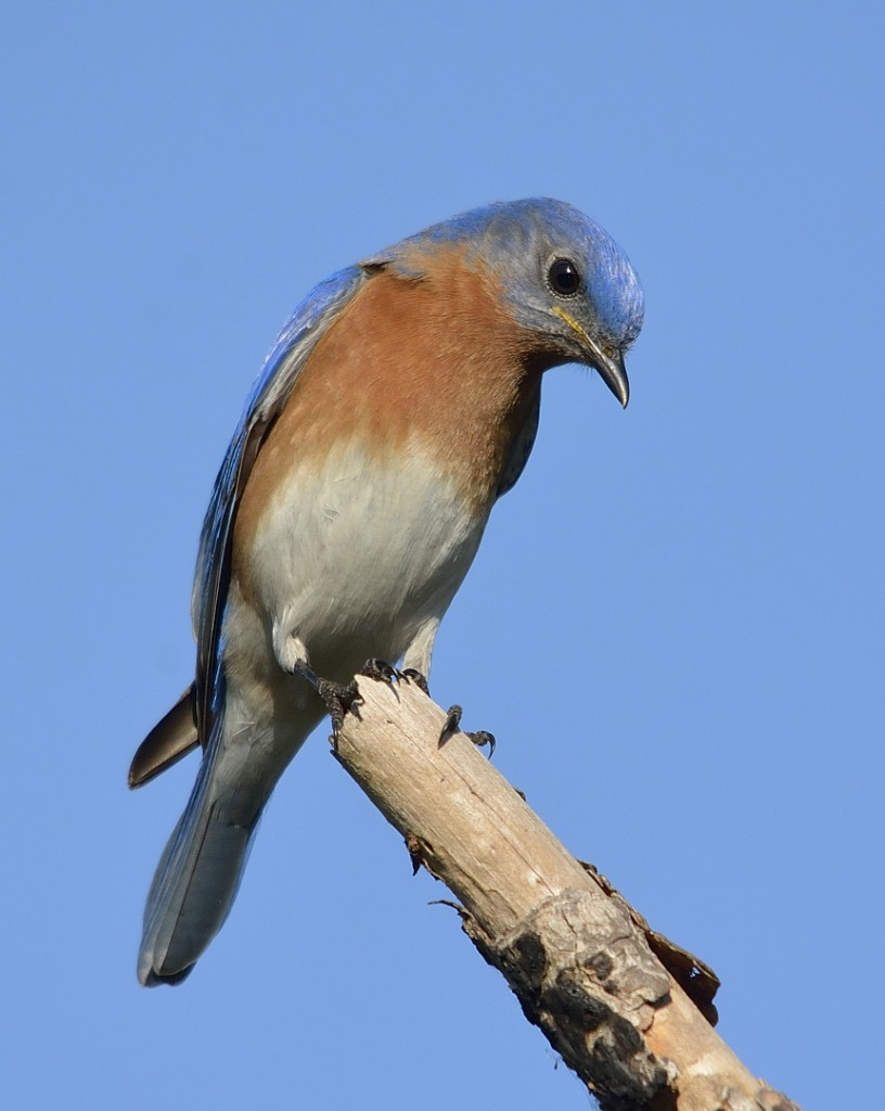 Eastern bluebirds are poster children for monogamy in birds, yet between 25-50% of nests have offspring sired by more than one male.