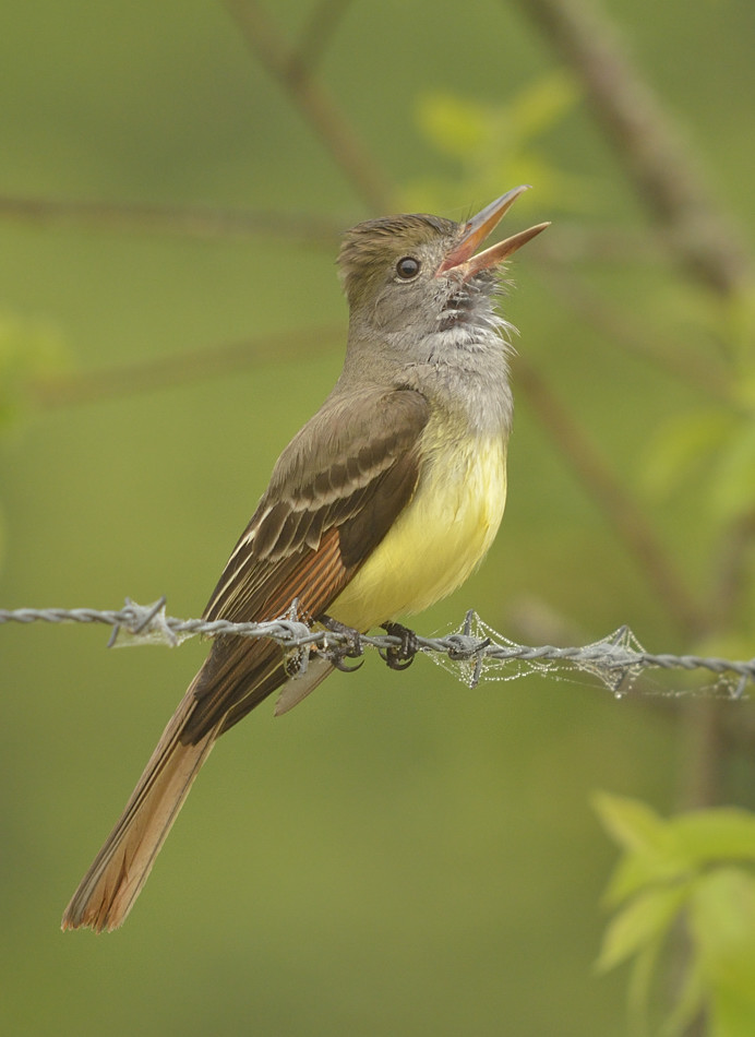 Male great crested flycatchers - what are they good for?