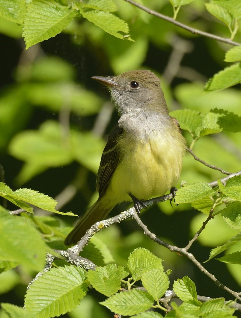 Great crested flycatcher from Manassas National Battlefield Park. This species is monomorphic; the only way to differentiate males and females is by behavior.