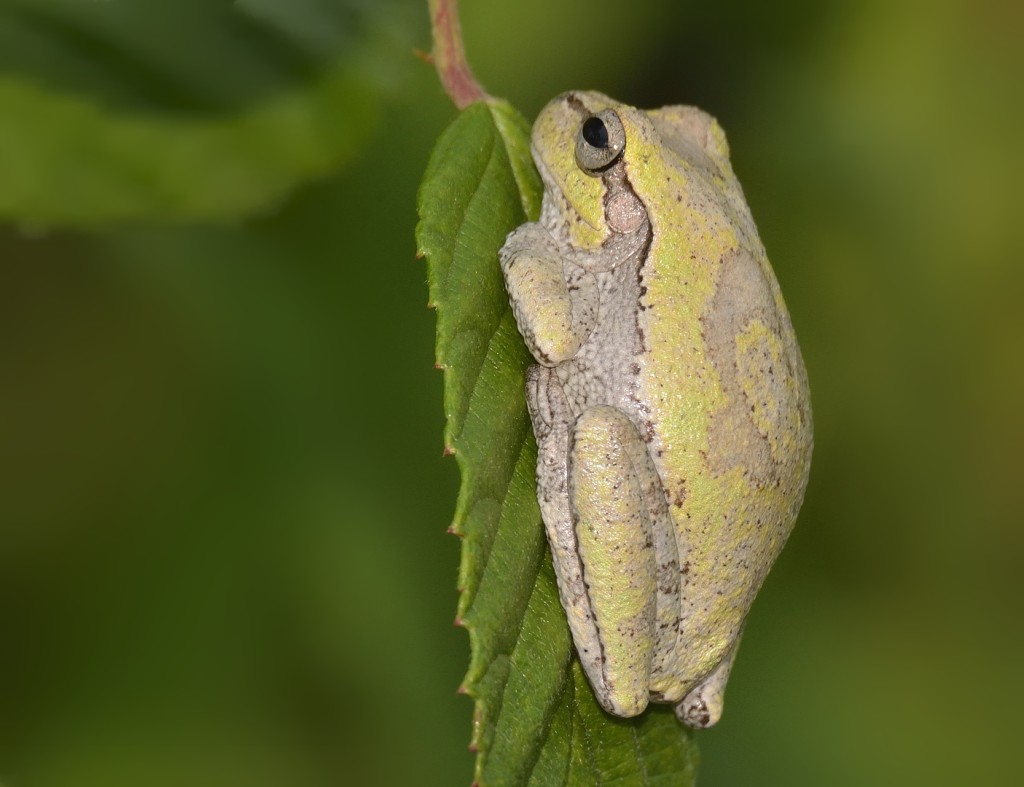 Pigmy rattlesnakes in some habitats eat a lot of frogs, including both semi-aquatic frogs (leopard frogs, especially) and tree frogs. This a pinewoods tree frog, Hyla femoralis.