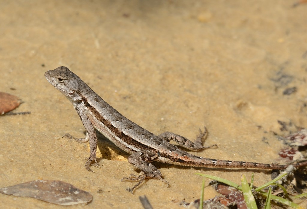 A scrub lizard, Sceloporus woodi, led me to the baby pigmy, much like the African honeyguide leads people to beehives.