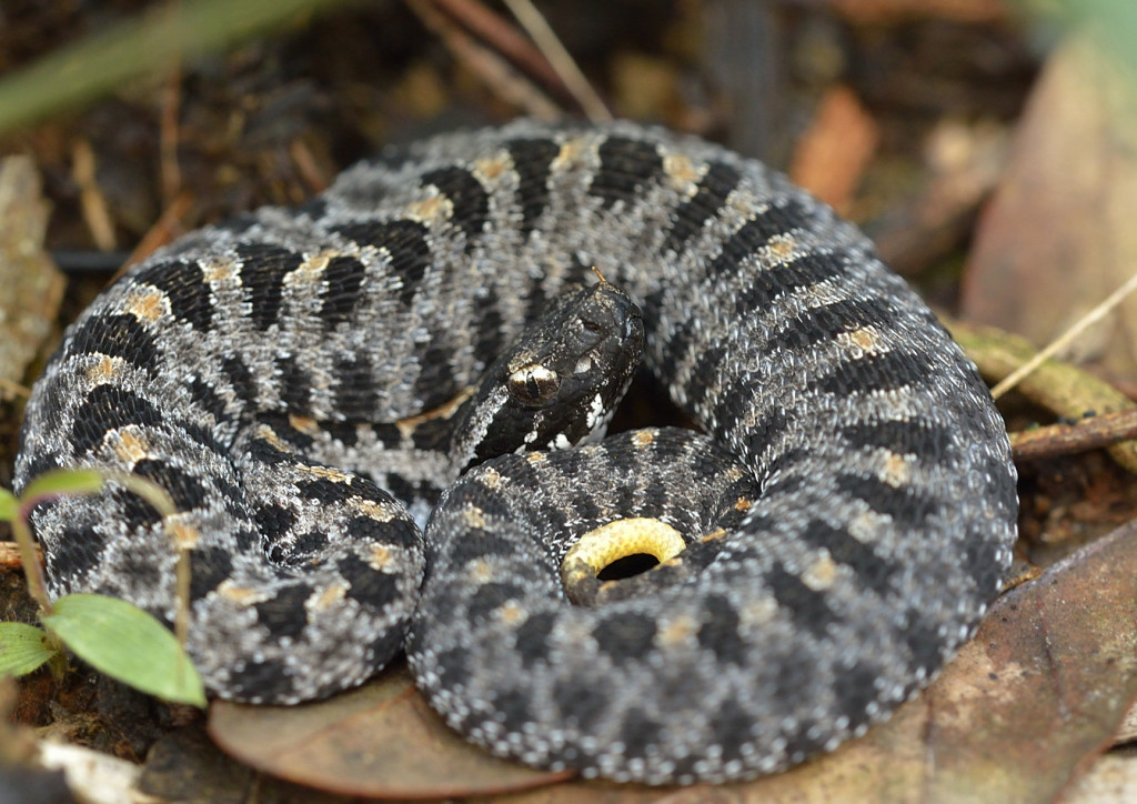 A neonate pigmy rattlesnake from Lake Woodruff NWR in a foraging coil, showing a bit of the yellow tail.