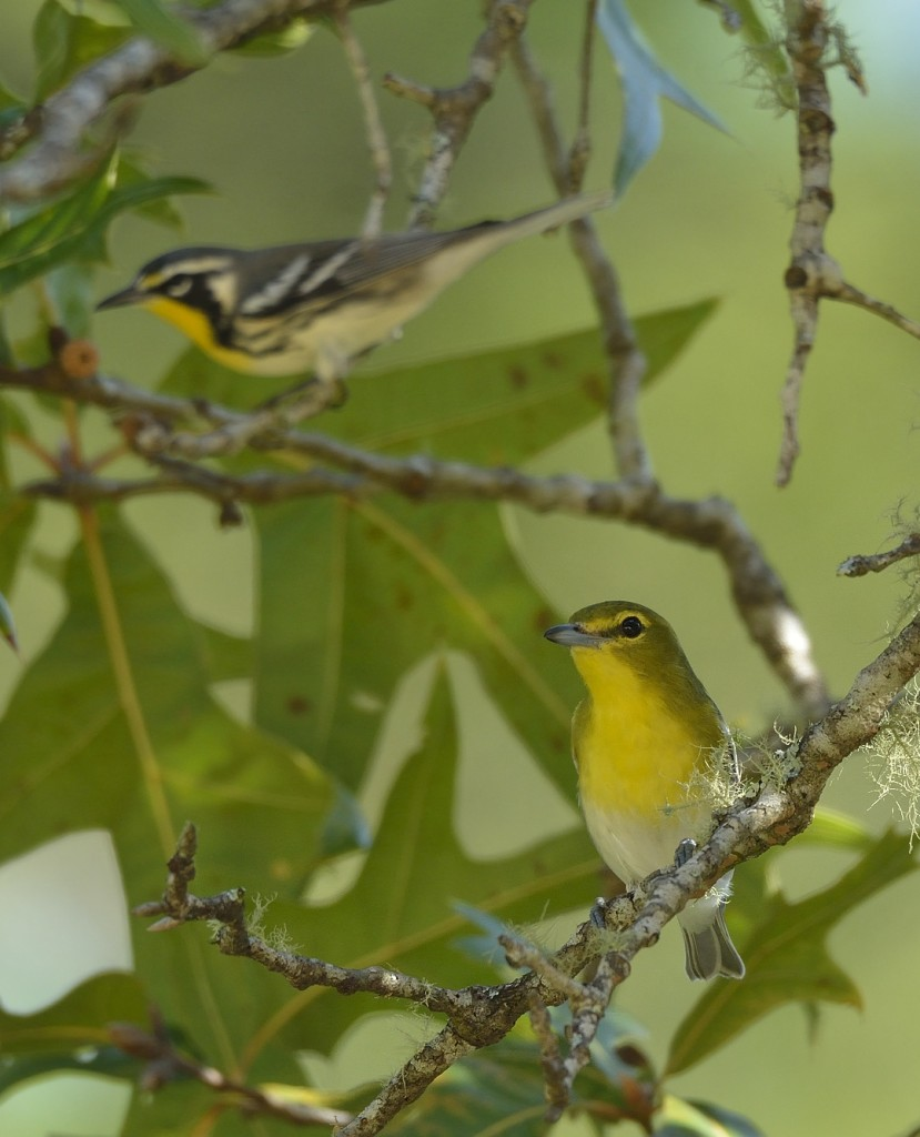Yellow-throated vireo and yellow-throated warbler, traveling together in the scrub. Mixed-species flocks consisting of up to a dozen species are the basic functional unit of mobbing behavior.