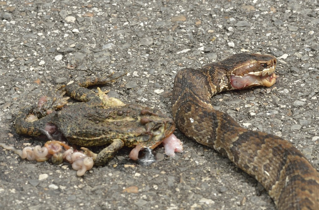 Looked like an easy meal, but it didn't work out that way for this cottonmouth trying to scavenge a road-killed toad.