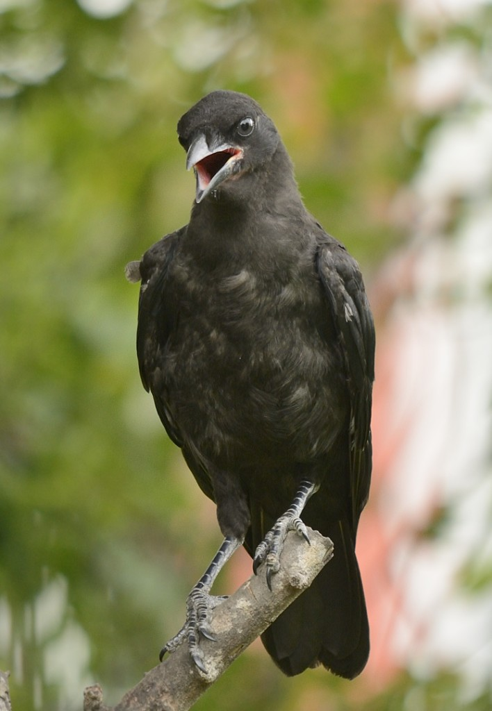 Fledgling crow taking stock of this strange hominid