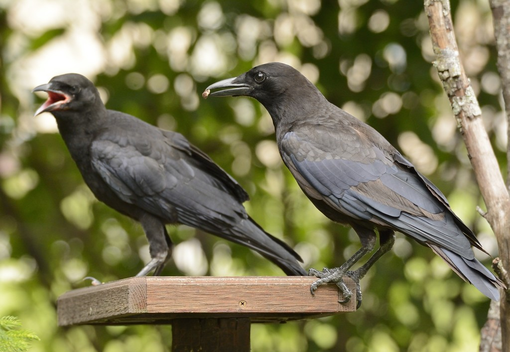 Okay, young dude, let me show you what's what. A yearling crow is tutoring his fledgling sibling. Crows exhibit cooperative breeding.