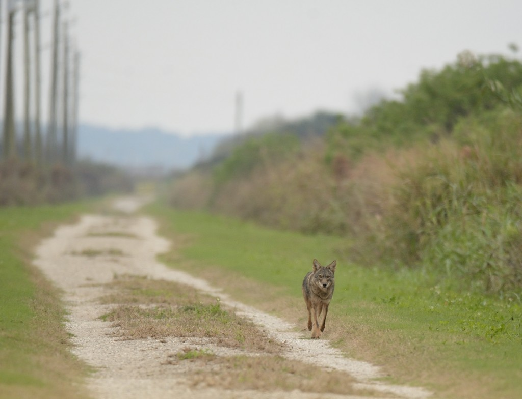 This coyote came up this road several hundred meters to check out the dying rodents