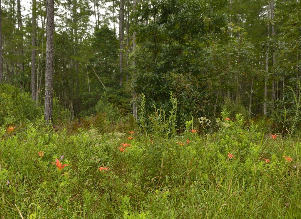 The pine lily patch at Aces Road and Truck Trail 1