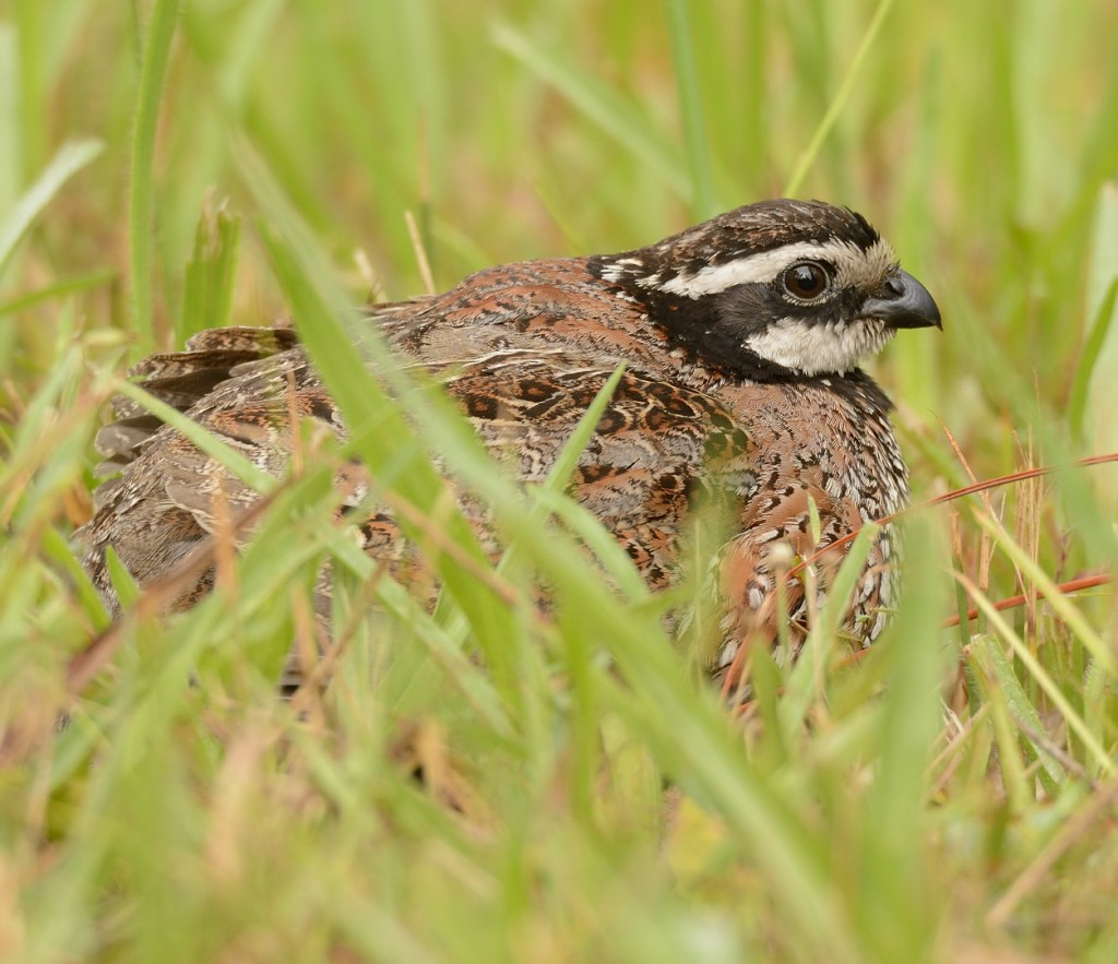 Papa quail brooding the kids