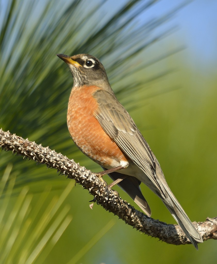 American robins winter in huge numbers in Florida, but not until the transient thrushes have mostly completed their passage.