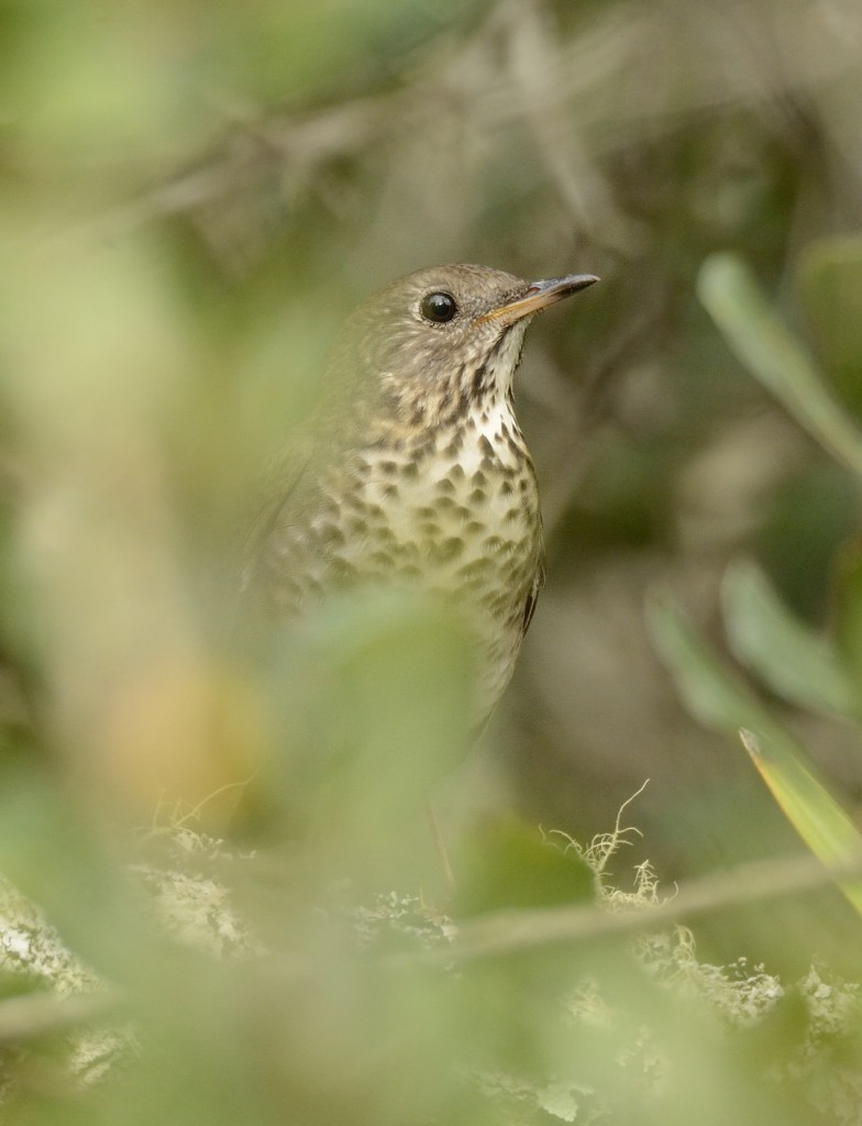 This bird showed interest in the songs and vocalizations of gray-cheeked thrush, but remained deep in cover.