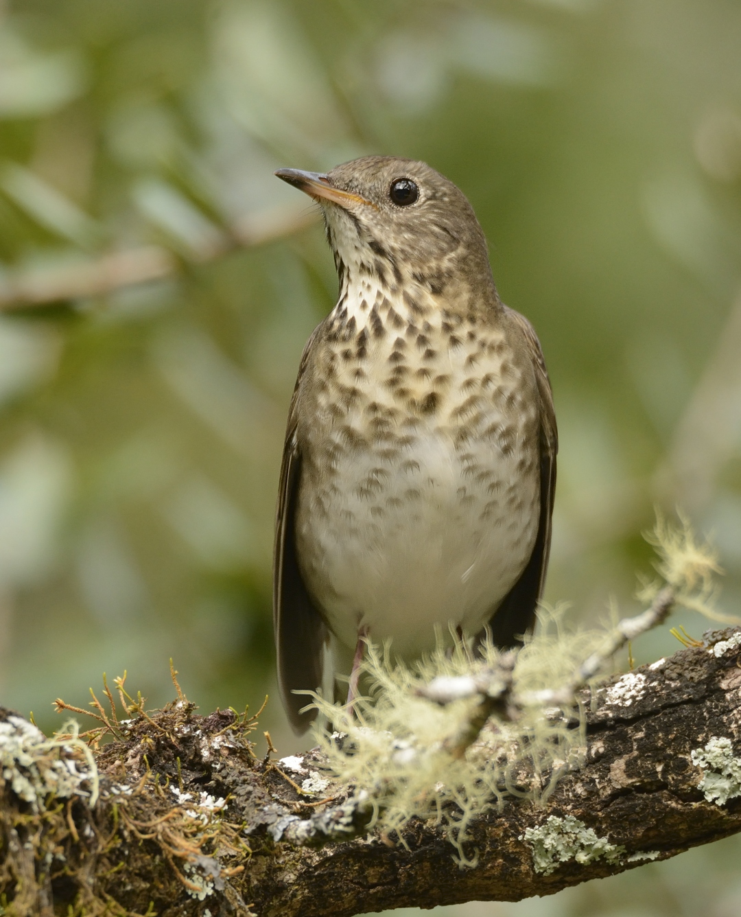 Than to feed a thrush In addition to apples and bread, nothing to eat
