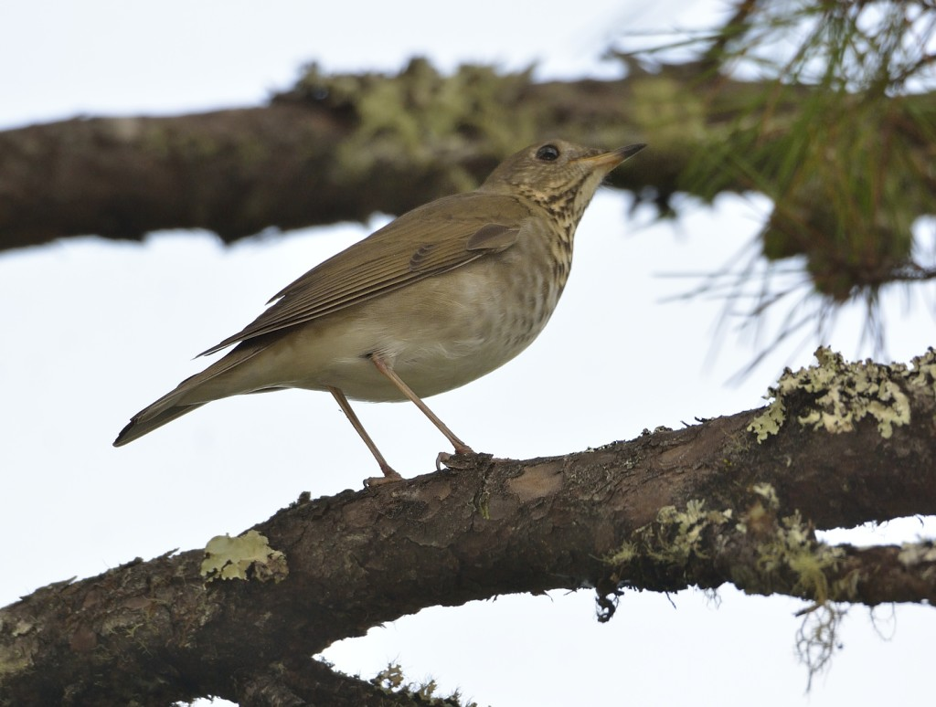 Gray-cheeked thrush, probably.