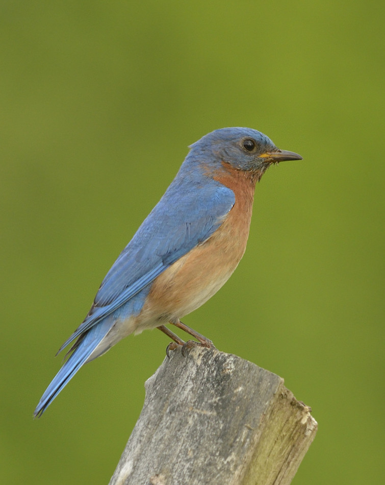 Eastern bluebirds are non-migratory thrushes that breed throughout Florida.