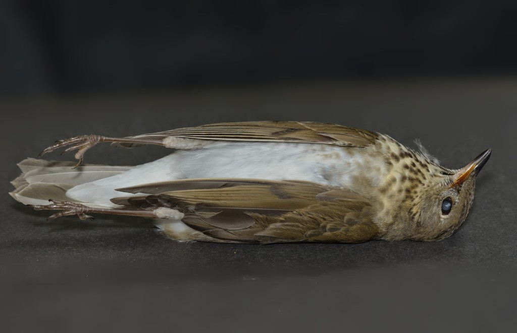 This presumed gray-cheeked thrush died from a window strike at my home on October 2.