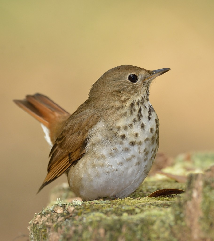 I photographed this territorial hermit thrush in Ocala National Forest several times in the winter of 2015-16.