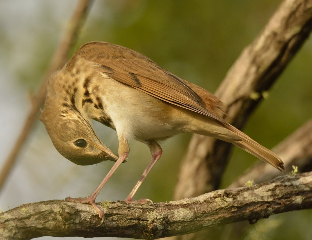 Hermit thrush performing self-inspection.