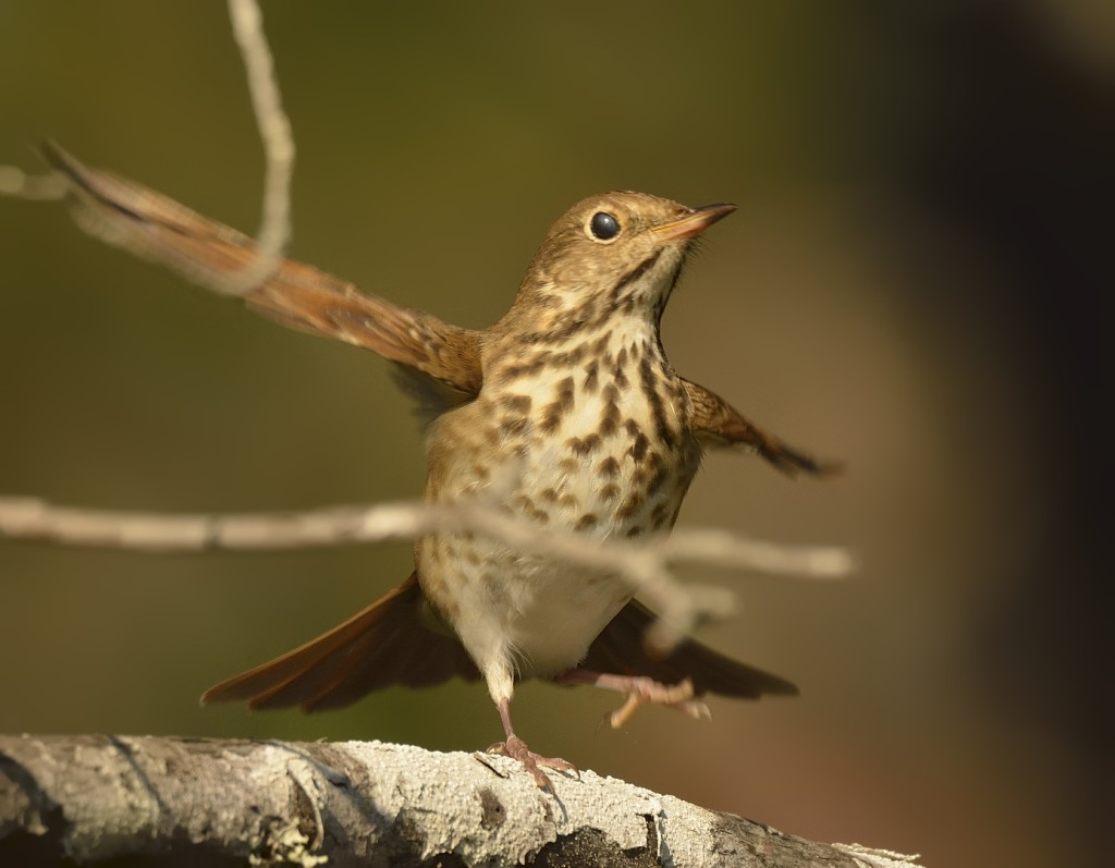 Hermit thrush doing his happy dance.