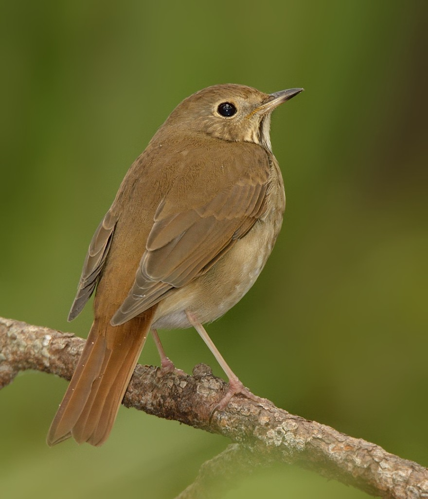 Hermit thrushes have the largest breeding range of any of the Catharus thrushes, and nest in a greater variety of habitats.