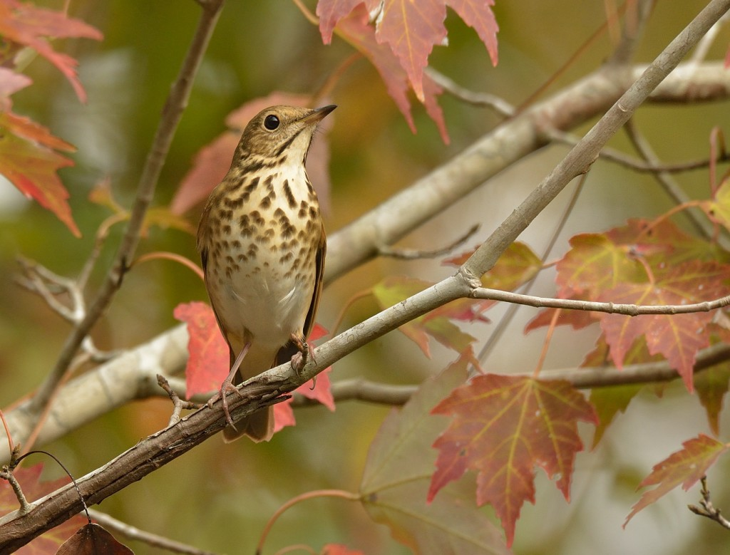 Migrant thrushes and fall foliage - a hard-to-beat combination. This is a hermit thrush in red maple (Acer rubrum).