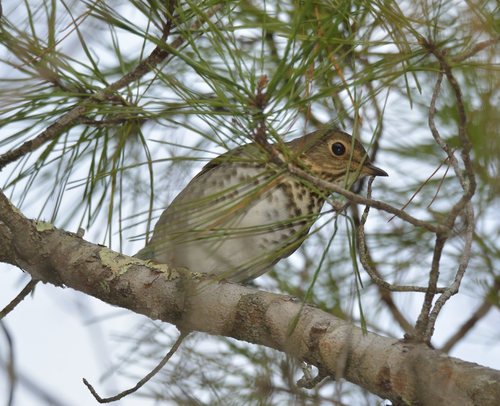 Swainson's thrushes are usually the most abundant of the mid-fall migrants.