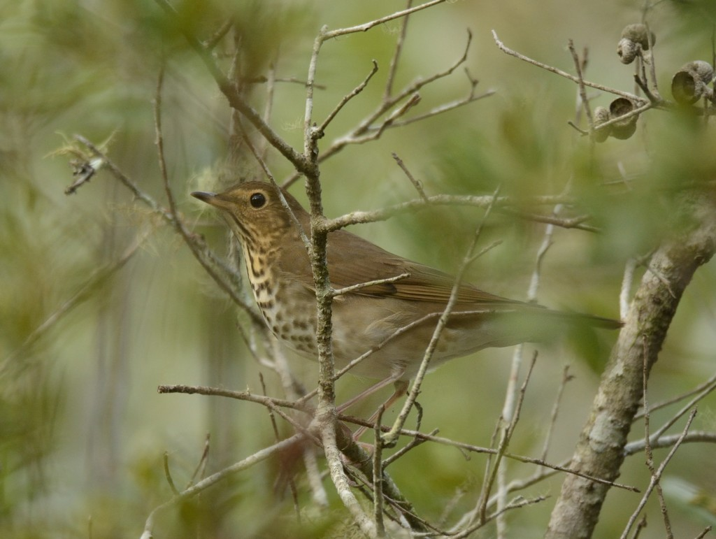 The buffy cheeks, prominent eye ring, and partial spectacle make Swainson's thrush a pretty easy ID if you can get a good look at the head. Which isn't always easy.