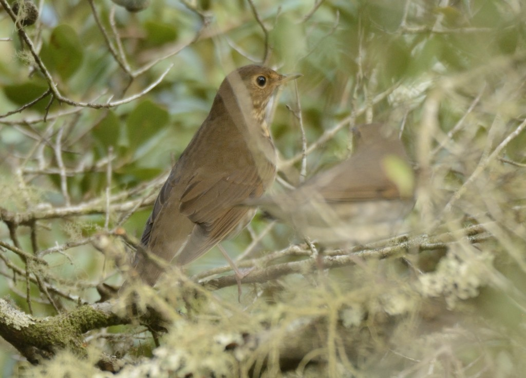 There are two Swainson's thrushes in this shot, and as is typical, both are deep in cover.