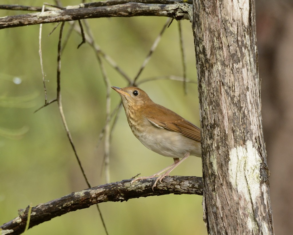 A veery in the cypress wetlands of Tiger Bay State Forest.
