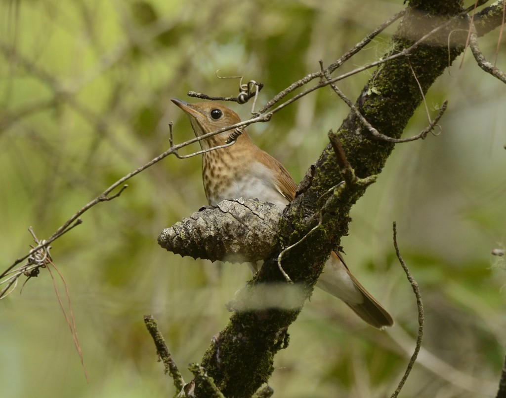 Veery in the scrub of Ocala National Forest. Like all of the Catharus thrushes, they are quite shy and prefer to be partially obscured by cover.