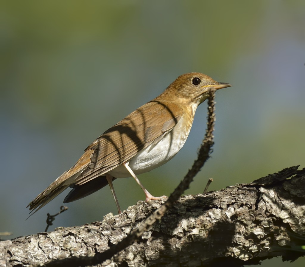 Veeries are the first of the Catharus thrushes to migrate through Florida.