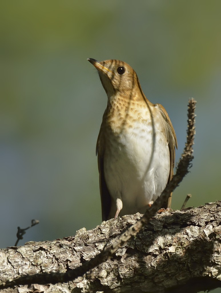 Veeries are one of the easier Catharus thrushes to identify. Their sparsely spotted chests and uniformly fuscous upperparts are distinctive.