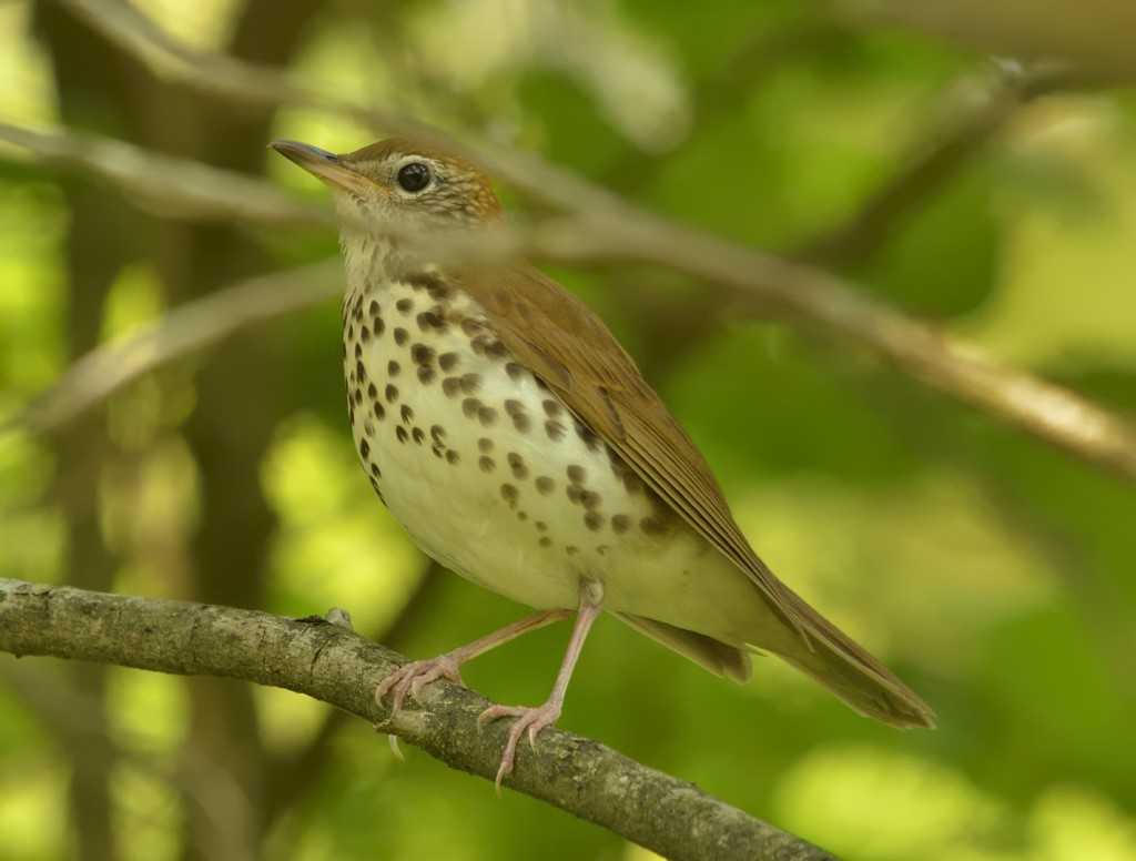 A Florida wood thrush would be a first for me.